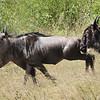 Wildebeests - Serengeti, Tanzania