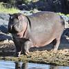 Hippo - Serengeti, Tanzania
