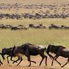 Wildebeest Migration - Serengeti, Tanzania