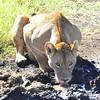 Drinking Lion - Ngorongoro Crater, Tanzania