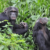 Chimpanze Sanctuary (started by Jane Goodall) - Sweetwater Reserve, Kenya