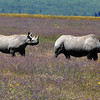 Black Rhinos amongst the wild flowers - Ngorongoro Crater, Tanzania