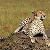 Cheetah - Masai Mara, Kenya