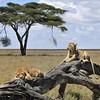 Lion pair - Serengeti, Tanzania
