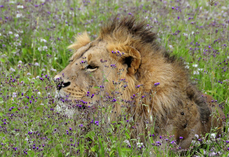 Lion amongst the wild flowers - Ngorongoro Crater, Tanzania