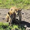 Lion Cubs - Lake Ngorongoro, Tanzania