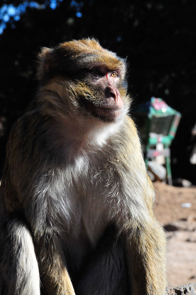 The Barbary Macques monkies in the Middle Atlas Mountains on the road between Fez and Erfoud