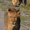 Lions at Hwanga