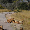 Lions at Hwanga