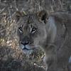 Lion at Hwanga