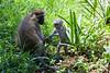 Vervet Monkeys / Grüne Meerkatze (Entebbe Botanical Gardens)