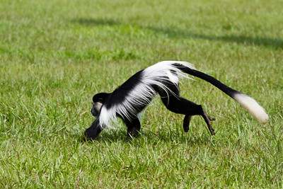 Black-and-white Colobus / Schwarz-weißer Stummelaffe (Entebbe Botanical Gardens)