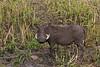 Warthog / Warzenschwein