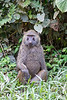 Baboon / Pavian