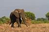 Elephant / Elefant