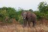Elephant / Elefant (Queen Elizabeth NP)