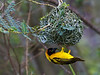 Weaver bird / Webervogel (Lake Mburu NP)