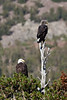 Bald eagles, Yosemite NP