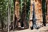 Sequoia NP