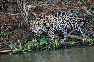 Jaguar 11 - M
