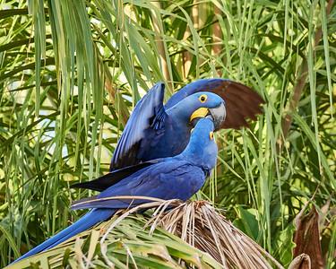 Hyacinth Macaw Pair 1