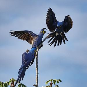 Hyacinth Macaw Couple with Intruder