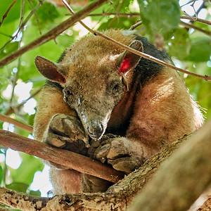 lesser anteater - M