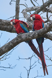 Red-and-green Macaw Pair