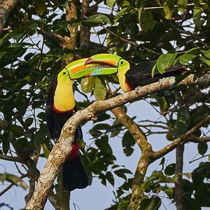 Keel-Billed Toucan Couple