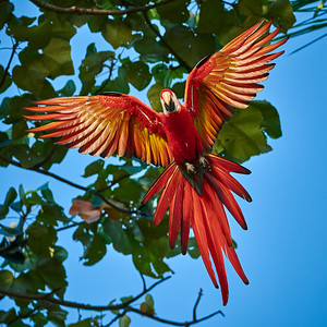 Scarlet Macaw, Incoming