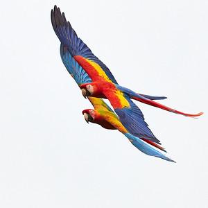 Scarlet  Macaw & Hybrid Macaw Couple