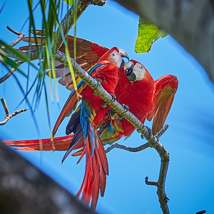 Scarlet Macaw Couple - M