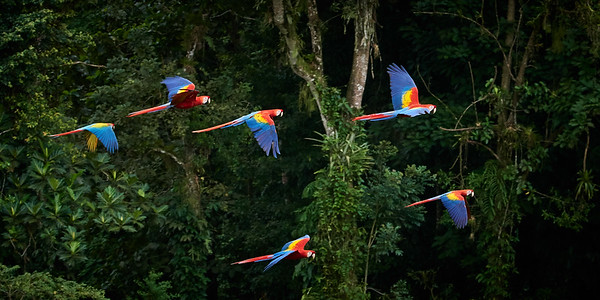 Scarlet  Macaw Group in Flight