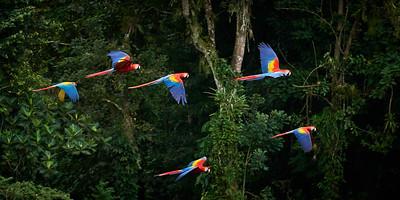Scarlet  Macaw Group in Flight