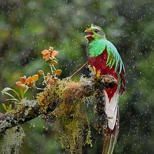 Resplendent Quetzal - M