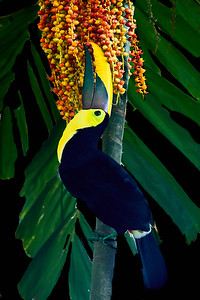 Yellow-Throated Toucan with Berries