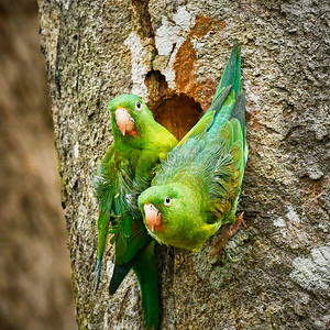 Orange-Chinned Parakeet  Couple - M