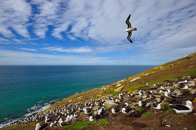Black-Browed Albatross in Flight over Rookery