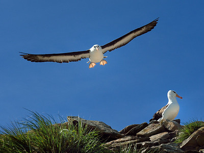 Black-Browed Albatross in Landing Pattern