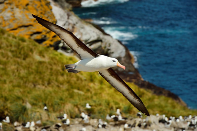 Black-Browed Albatross in Flight 5