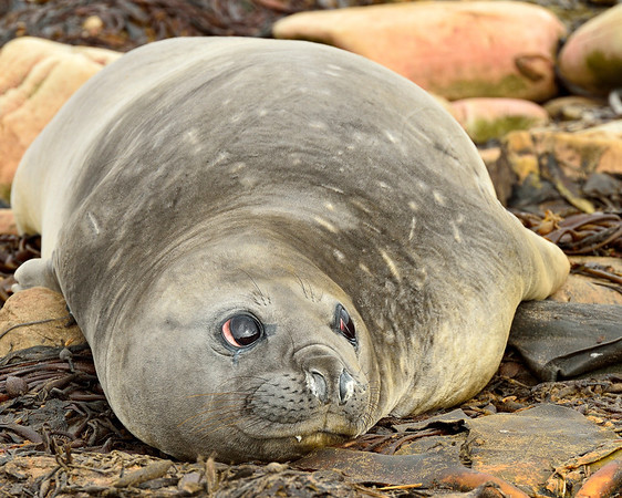 Young Southern Elephant Seal