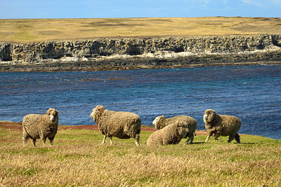 Vista with Falkland Sheep