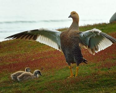 Upland Goose & Chicks