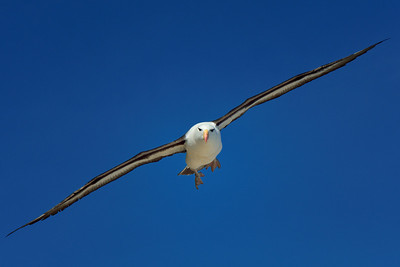 Black-Browed Albatross in Flight 2