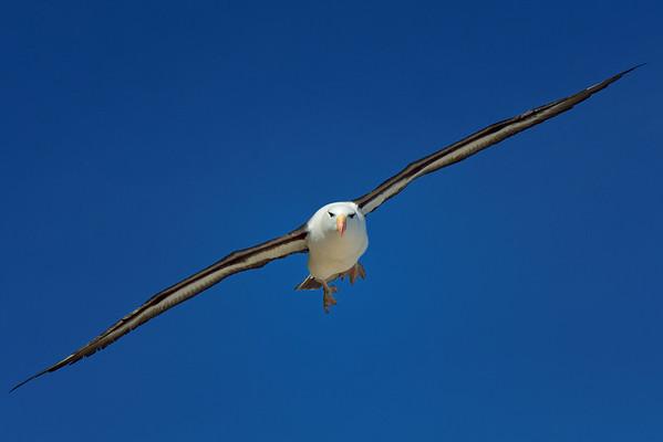 Black-Browed Albatross in Flight 2