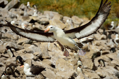 Black-Browed Albatross Landing