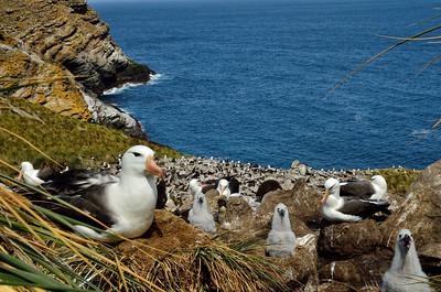 Black-Browed Albatross with Chicks -M