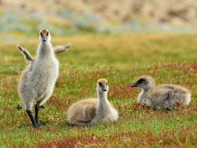 Upland Goose Chicks