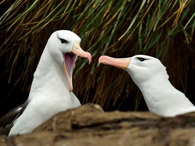 Black-Browed Albatross Couple 2