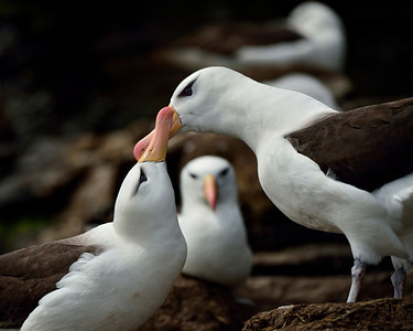 Black-Browed Albatross Couple